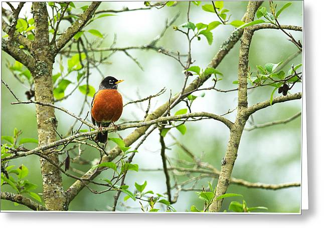 American Robin On Tree Branch Greeting Card by Sharon Talson