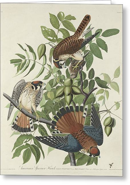 Naturalist Greeting Cards - American Sparrow Hawk Greeting Card by John James Audubon