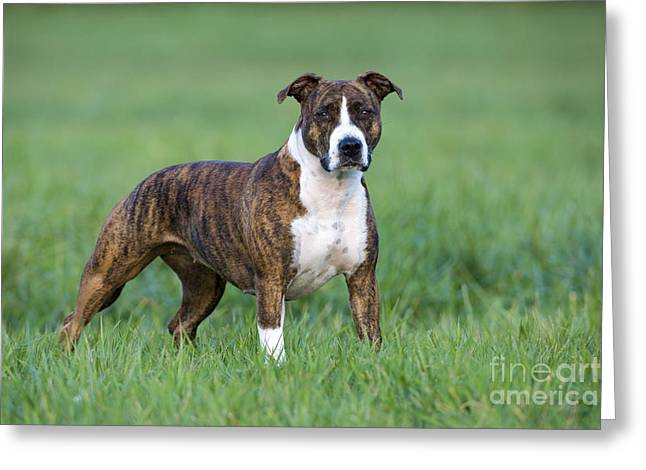 American Staffordshire Terrier Greeting Card by Jean-Louis Klein & Marie-Luce Hubert