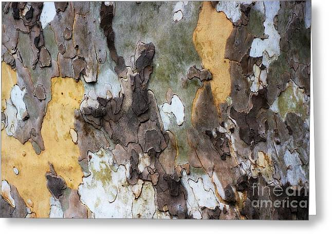 American Sycamore Bark Greeting Card by Patti Whitten