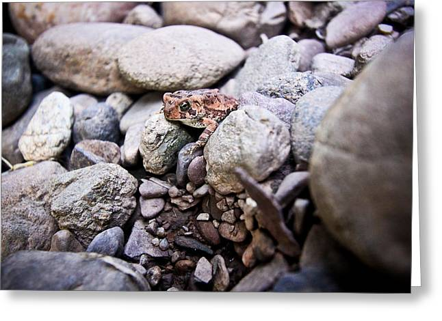 Macro Pro Photographs Greeting Cards - American Toad Greeting Card by Ryan Kelly