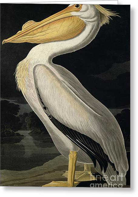 Water Bird Greeting Cards - American White Pelican Greeting Card by John James Audubon