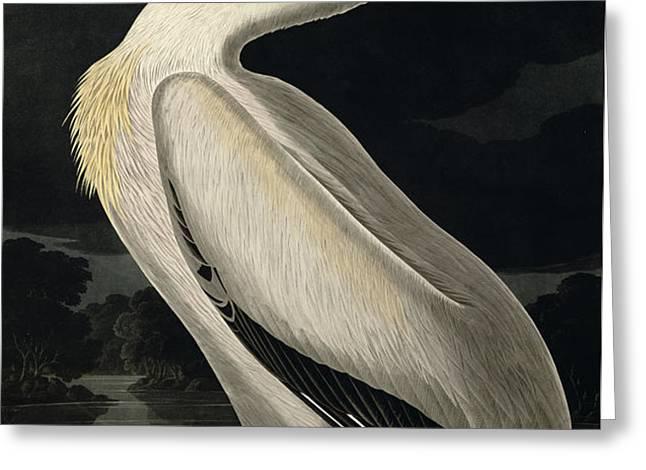American White Pelican Greeting Card by John James Audubon