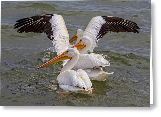 Tn Greeting Cards - American White Pelicans - Goose Island - Texas Greeting Card by TN Fairey