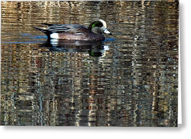 Gathering Greeting Cards - American Wigeon Highlighted Greeting Card by Warren M Gray