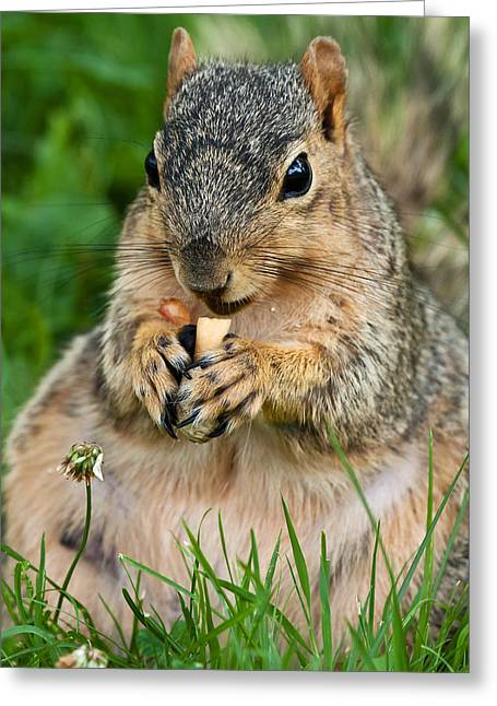 Fox Squirrel Photographs Greeting Cards - Ample Waist Greeting Card by James Marvin Phelps