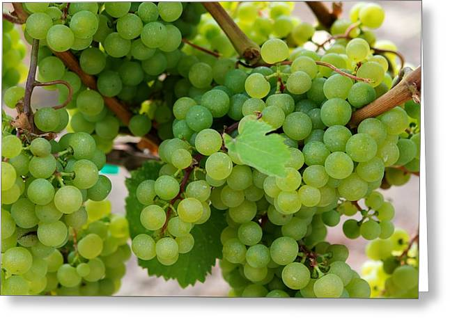 Grape Vineyard Greeting Cards - An Abundance of Grapes Greeting Card by Sabine Edrissi