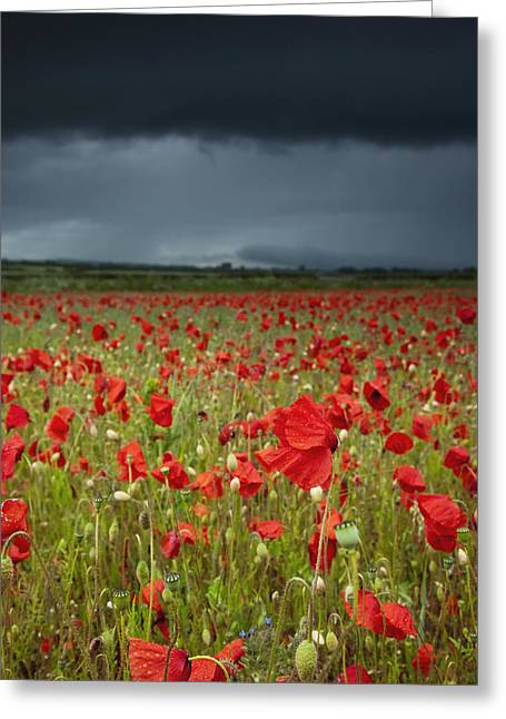 Differential Focus Greeting Cards - An Abundance Of Poppies In A Field Greeting Card by John Short