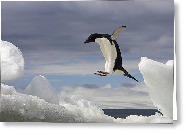 The Penguin Greeting Cards - An Adelie Penguin, Pygoscelis Adeliae Greeting Card by Ralph Lee Hopkins
