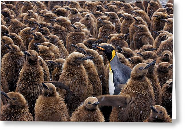 Aptenodytes Greeting Cards - An Adult King Penguin Searching To Find Greeting Card by Paul Nicklen
