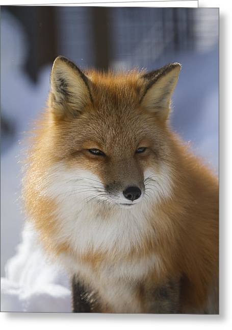 Color Focus Greeting Cards - An Adult Red Fox In The Anchorage Area Greeting Card by Doug Lindstrand