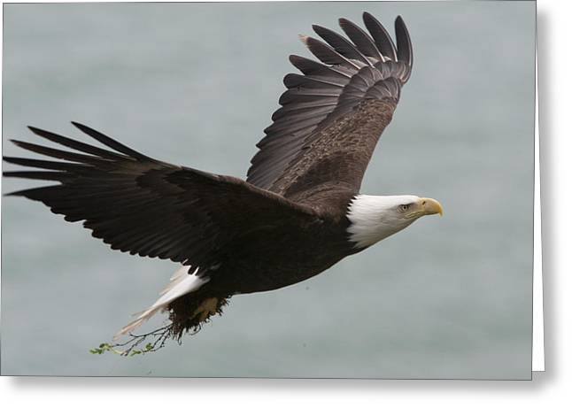 Full-length Portrait Photographs Greeting Cards - An American Bald Eagle Soaring Greeting Card by Roy Toft