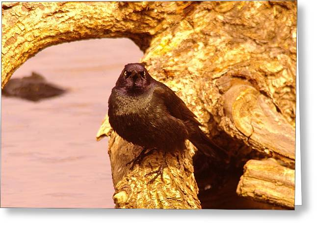 Migratory Bird Greeting Cards - An angry grackle Greeting Card by Jeff  Swan