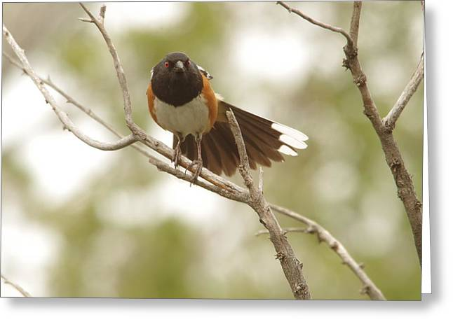 Migratory Bird Greeting Cards - An angry Towhee Greeting Card by Jeff  Swan