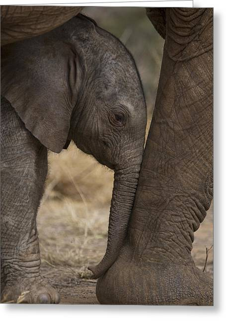 Legs Photographs Greeting Cards - An Elephant Calf Finds Shelter Amid Greeting Card by Michael Nichols