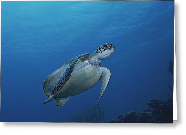 Bonaire Greeting Cards - An Endangered Green Sea Turtle Greeting Card by George Grall