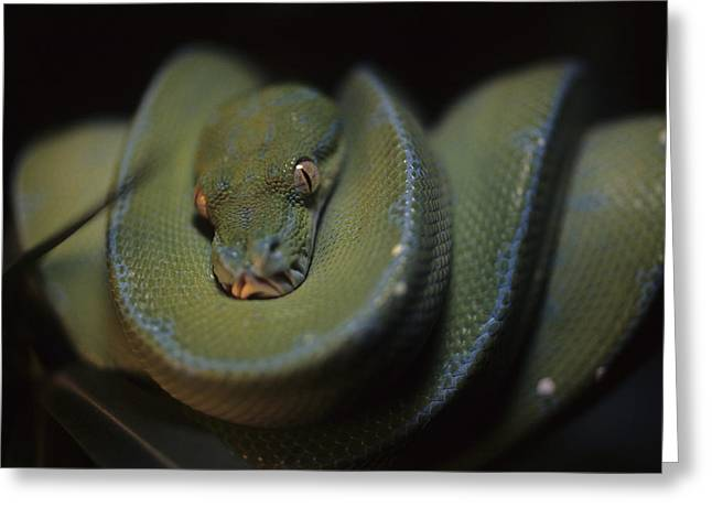 Morphing Photographs Greeting Cards - An Immature Green Tree Python Curled Greeting Card by Taylor S. Kennedy