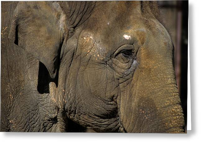 Smithsonian Greeting Cards - An Old Asian Elephant In The Evening Greeting Card by Stacy Gold