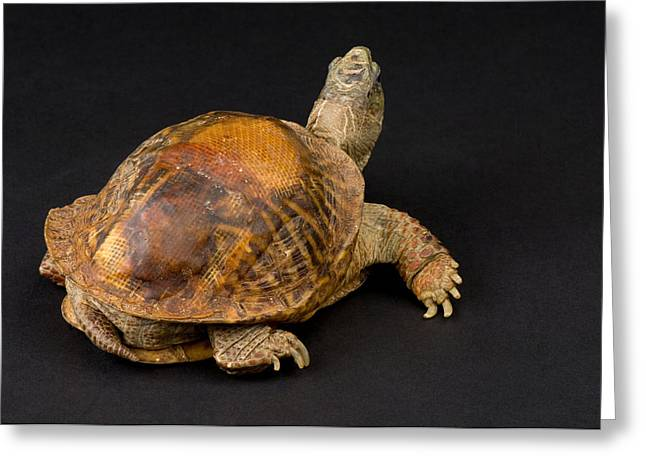 Sunset Zoo Greeting Cards - An Ornate Box Turtle With A Fiberglass Greeting Card by Joel Sartore