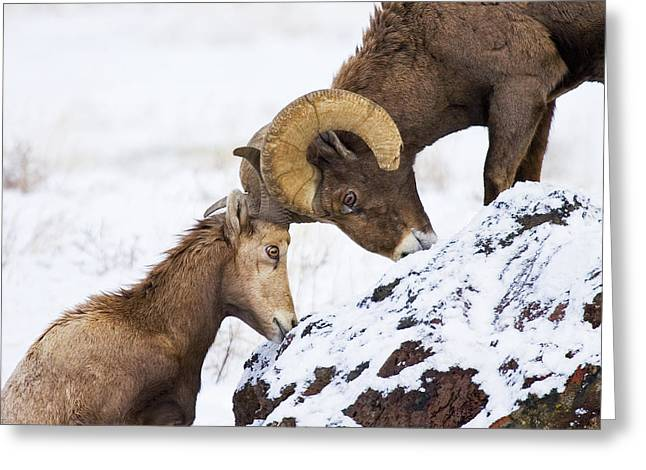 Bighorn Greeting Cards - An Uphill Battle Greeting Card by Mike  Dawson