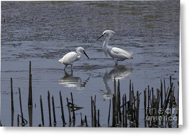 Wildlife Refuge. Greeting Cards - Anahuac Cattle Egrets Greeting Card by Tim Moore