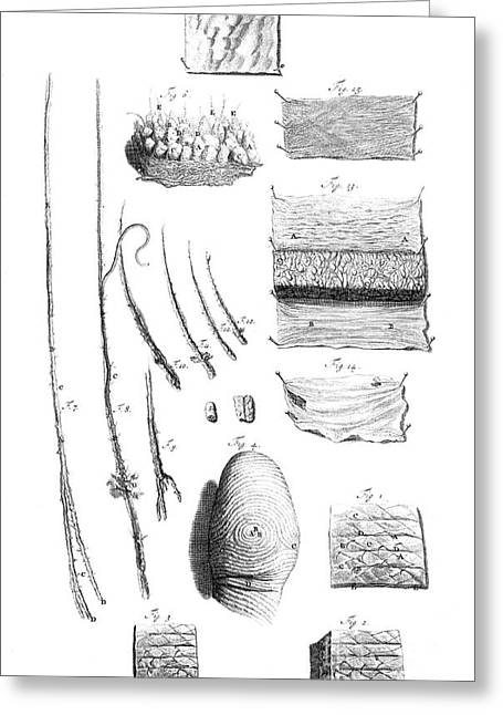 Naturalistic Greeting Cards - Anatomia Humani Corporis, Table 04, 1690 Greeting Card by Science Source