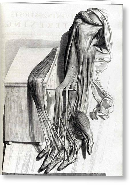 Naturalistic Greeting Cards - Anatomia Humani Corporis, Table 67, 1690 Greeting Card by Science Source