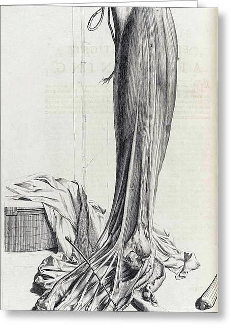 Naturalistic Greeting Cards - Anatomia Humani Corporis, Table 81, 1690 Greeting Card by Science Source