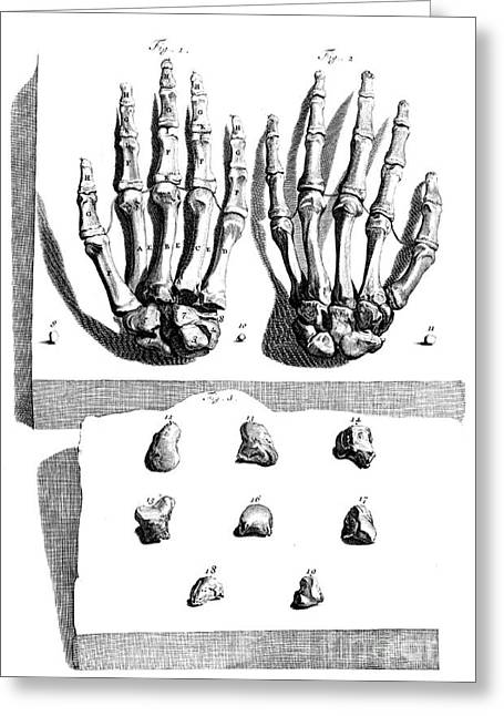 Naturalistic Greeting Cards - Anatomia Humani Corporis, Table 97, 1690 Greeting Card by Science Source