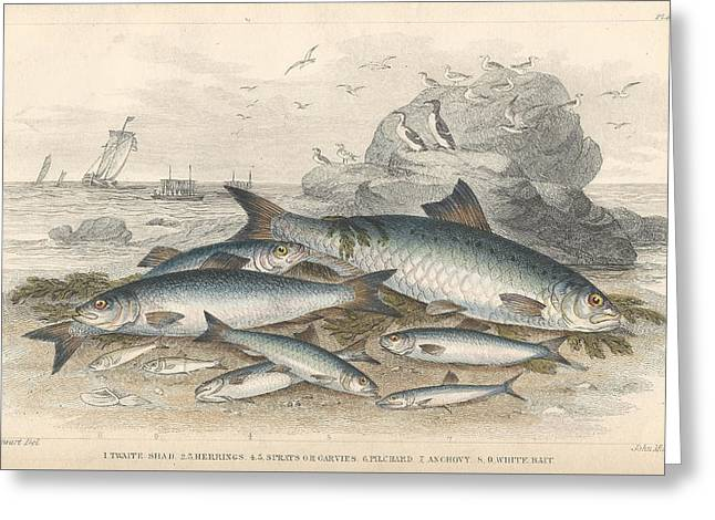 Thomas Drawings Greeting Cards - Anchovies and Herring Greeting Card by Oliver Goldsmith