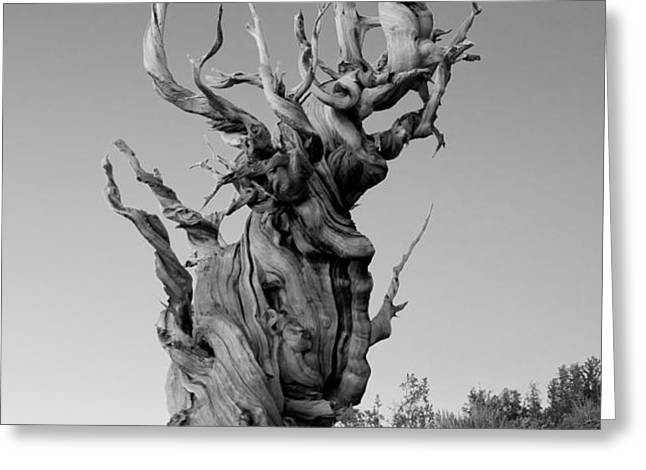 Ancient Bristlecone Pine Greeting Card by Daniel Ryan