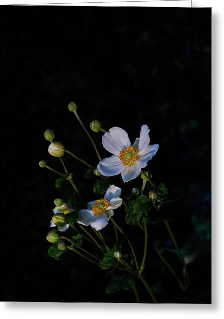 Diversion Greeting Cards - Anemone At Sunrise Greeting Card by Douglas Barnett