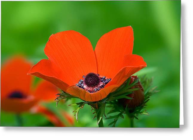 Anemone Coronaria Greeting Cards - Anemone Coronaria Greeting Card by Yuri Peress