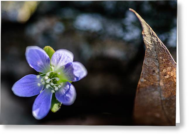 Wisconsin Wildflowers Greeting Cards - Anemone Greeting Card by Randy Scherkenbach