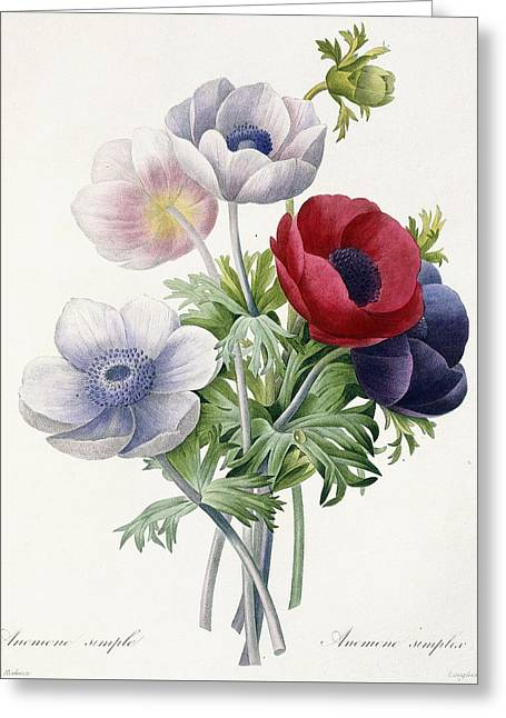 Crimson Drawings Greeting Cards - Anemone Simple Greeting Card by Pierre Joseph Redoute