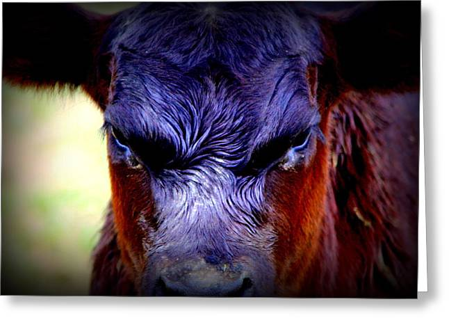 Cattle Photographs Greeting Cards - Angry Black Angus Calf Greeting Card by Tam Graff