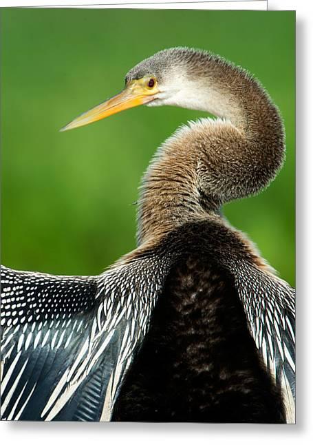 Anhinga Anhinga Anhinga, Pantanal Greeting Card by Panoramic Images