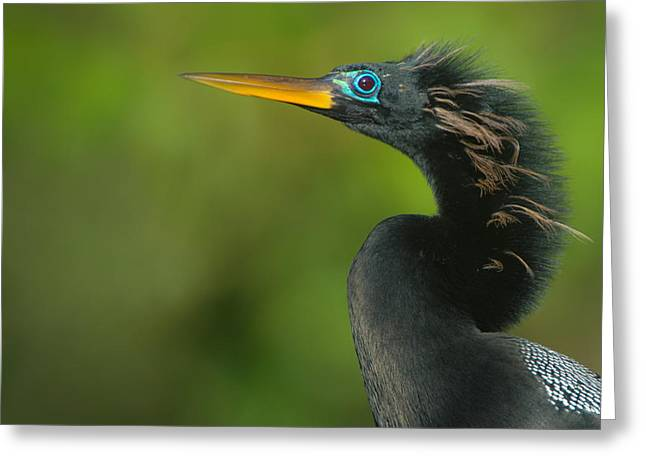 Anhinga Greeting Cards - Anhinga Anhinga Anhinga, Tortuguero Greeting Card by Panoramic Images