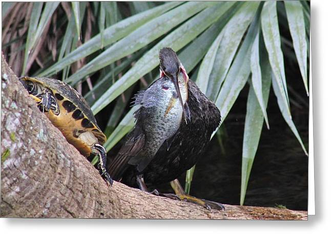 Wildlife Refuge. Pyrography Greeting Cards - Anhinga Dinner Greeting Card by Valia Bradshaw