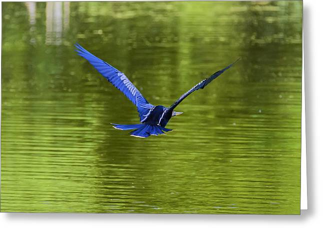 Pelicaniformes Greeting Cards - Anhinga on the Wing over Green Water Greeting Card by Steve Samples
