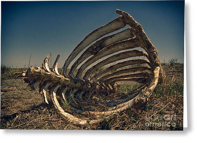 Animal Spine And Rib Cage Photograph By Robert Gaines