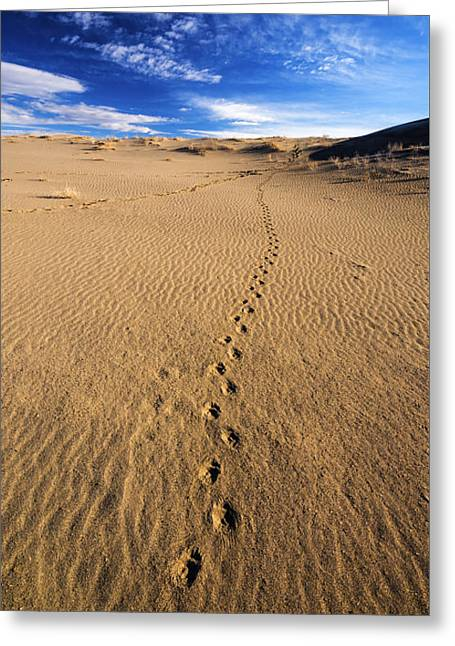 Animal Tracks Greeting Cards - Animal Tracks in sand at Bruneau Dunes State Park in Idaho Greeting Card by Vishwanath Bhat
