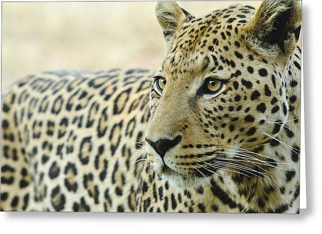 Face To Face Greeting Cards - Animalscapes - Leopard Greeting Card by Andy-Kim Moeller