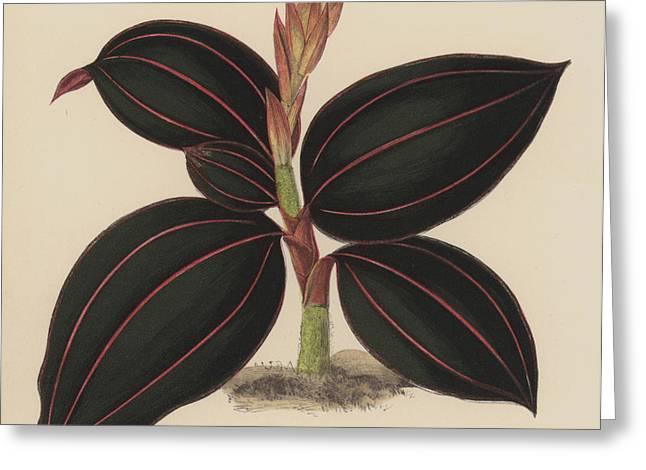 Anoectochilus Rubro Venia Greeting Card by English School