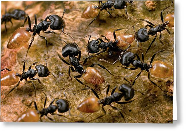 Ant Crematogaster Sp Group Greeting Card by Mark Moffett