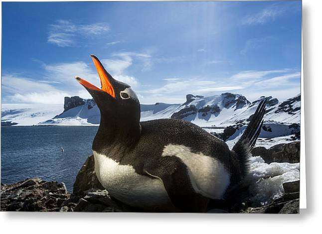 Deception Beach Greeting Cards - Antarctica, Livingstone Island, Flash Greeting Card by Paul Souders