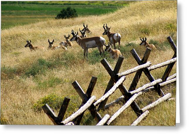 Marty Koch Greeting Cards - Antelope 2 Greeting Card by Marty Koch