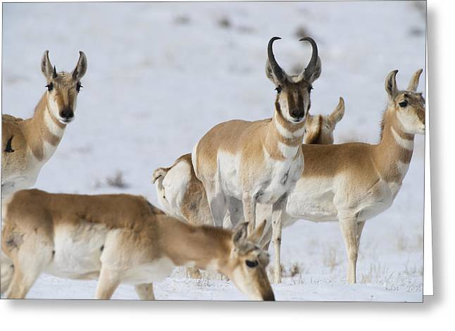 Pronghorn Greeting Cards - Antelope Greeting Card by Noah Bryant