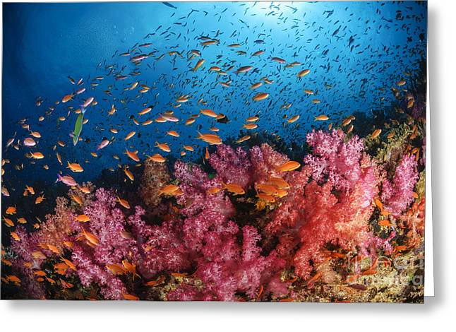 Sea Fan Greeting Cards - Anthias Fish And Soft Corals, Fiji Greeting Card by Todd Winner