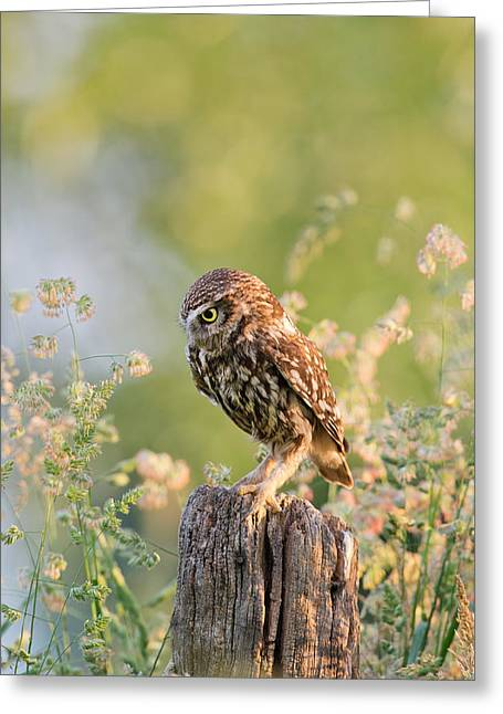Owl Photography Greeting Cards - Anticipation - Little Owl staring at its Prey Greeting Card by Roeselien Raimond